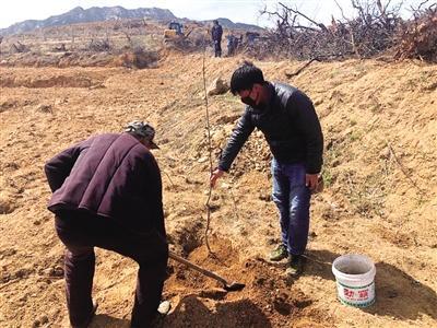 龙口七甲镇全方位攻坚苹果高质量发展 20个村597亩老劣果园伐老建新